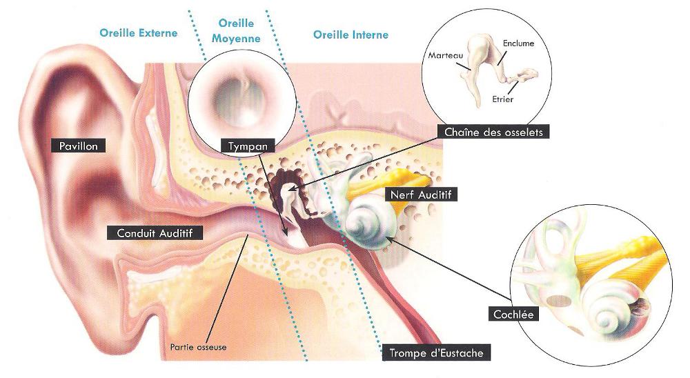anatomie_oreille